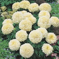 Marigold Vanilla F1 Plants