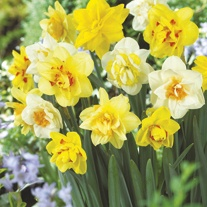 Double Narcissi Flower Bulb Mix