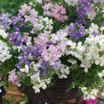 Nemesia Poetry Mixed Flower Plants