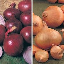 Onion (Heat Treated) Collection (Spring Planting)