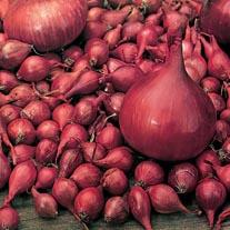 Onion Electric Bulbs