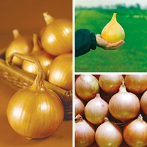 Exhibition Onion Veg Plant Collection