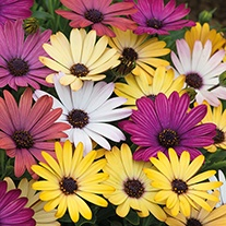 Osteospermum Akila Grand Canyon Mixed Flower Plants