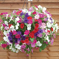 Petunia Easy Wave Mixed Flower Plants