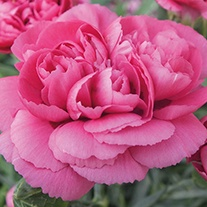 Dianthus Scents of Summer™ 'Patio Peony Cerise'