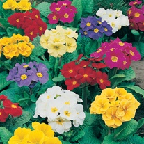 Polyanthus Crescendo Mixed F1 Flower Plants