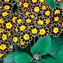 Polyanthus Gold Lace F1