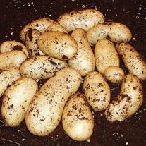 Potato (Maincrop) Belle de Fontenay