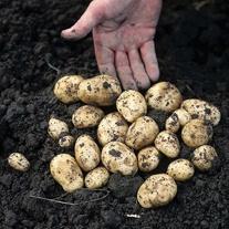 Potato Carlingford