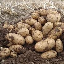 Potato Arran Pilot (First Early Seed Potato)