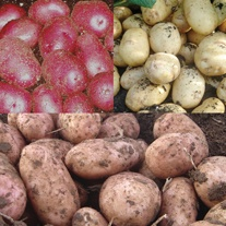 Kitchen Classics Seed Potato Collection
