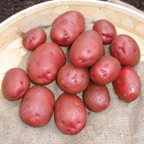 First Early Seed Potatoes Red Duke of York AGM