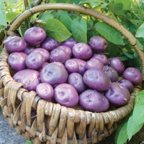 Potato Arran Victory (Maincrop Seed Potato)