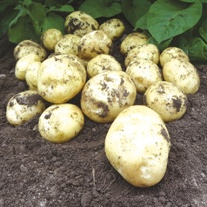 Potato Accent  (First Early Seed Potato) AGM