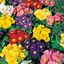 Primrose Husky Mixed F1 Flower Plants