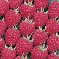 Raspberry Glen Ample AGM Fruit Canes (Floricane)
