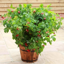 Raspberry Ruby Beauty Fruit Plant (Floricane)
