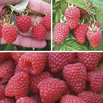 Long Cropping Mini Raspberry Fruit Cane Collection