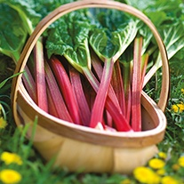 Rhubarb Livingstone Plant