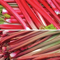 Mini Long Cropping Rhubarb Crown Collection