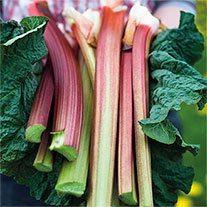 Rhubarb Poulton's Pride Plant