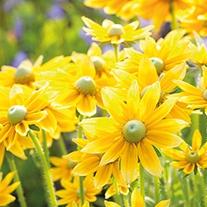 Rudbeckia Prairie Sun Flower Plants