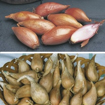 Autumn Planting Shallot Bulb Collection
