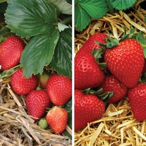 Everbearer Strawberry Fruit Plant Collection