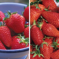 French Strawberry Fruit Plant Collection