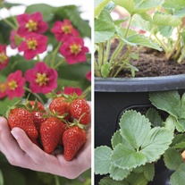 Strawberry Toscana F1 Fruit Plants & 2 x 12in Baskets