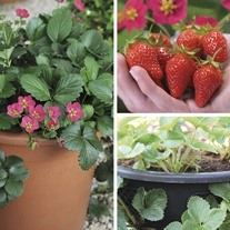 Hanging Basket Strawberry Fruit Plant Collection with 2 baskets