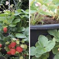 Strawberry Elan F1 Fruit Plants & 2 x 12in Easi-Plant Baskets