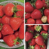 Long Cropping Strawberry Plant Collection