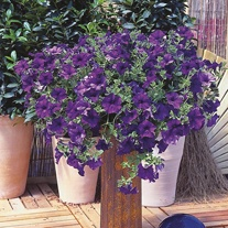 Surfinia Petunia Blue Flower Plants
