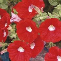 Surfinia Petunia Red with Eye Flower Plants