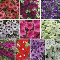 Surfinia Petunias Flower Plant Collection