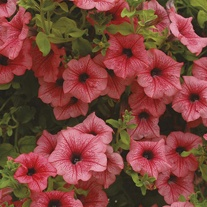 Surfinia Petunia Hot Salmon Flower Plants