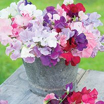 DT Brown Sweet Pea Flower Plants