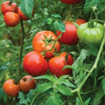 Tomato Big Daddy (Plum) Veg Plants