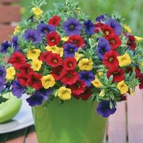 Trixi plug plants from mr fothergill 39 s - Calibrachoa trixi ...
