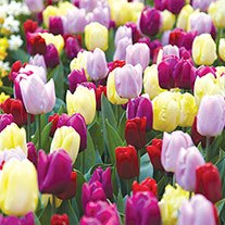 Tulip Prince Flower Bulb  Mix