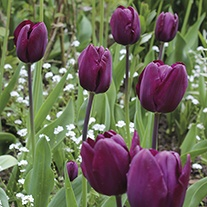 Tulip Recreado Flower Bulbs