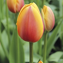 Tulip World Peace Flower Bulbs