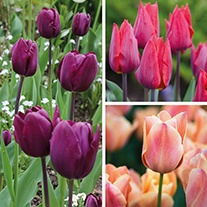 Classic Tulip Collection