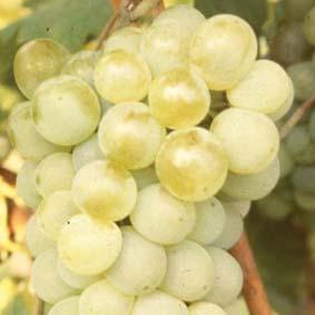 Grape Vine Phoenix Fruit Plant