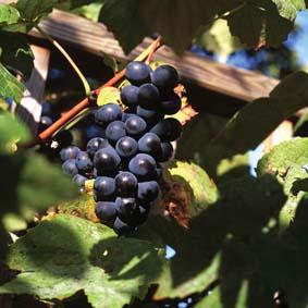 Grape Vine Boskoop Glory Fruit Plant