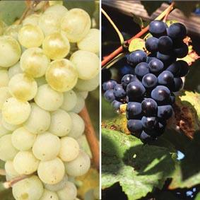 Grape Vine Fruit Plant Collection