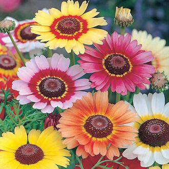 Chrysanthemum Rainbow Mix Seeds