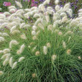 Grass Pennisetum Feathertop