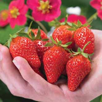 Strawberry Toscana Seeds - Fleurostar 2011/2012